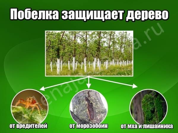 для чего нужна побелка деревьев