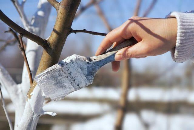 Побелка деревьев осенью: состав раствора, сроки осенней побелки
